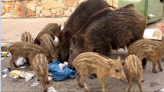 חזירי בר חיפאים, מראה שגרתי (צילום חי פה)