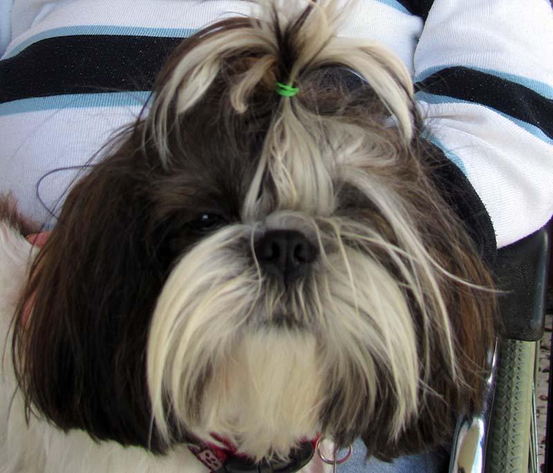 כלבה מסוג שיצו (צילום: ירון כרמי)