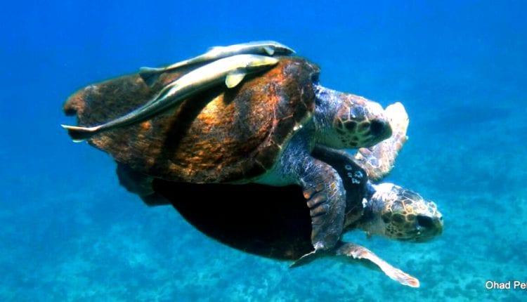 צבי ים מזדווגים בחיפה (צילום – אהד פלג)