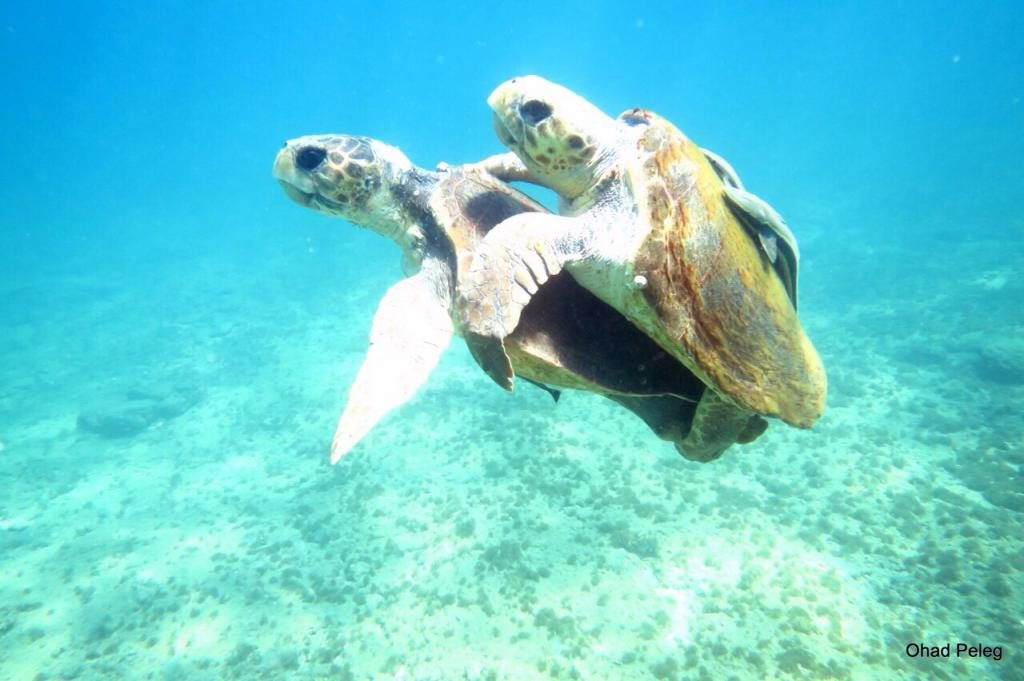 צבי ים מזדווגים, חיפה (צילום: אהד פלג)