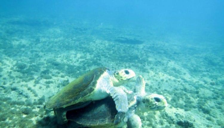 צבי ים מזדווגים – חיפה (צילום: אהד פלג)
