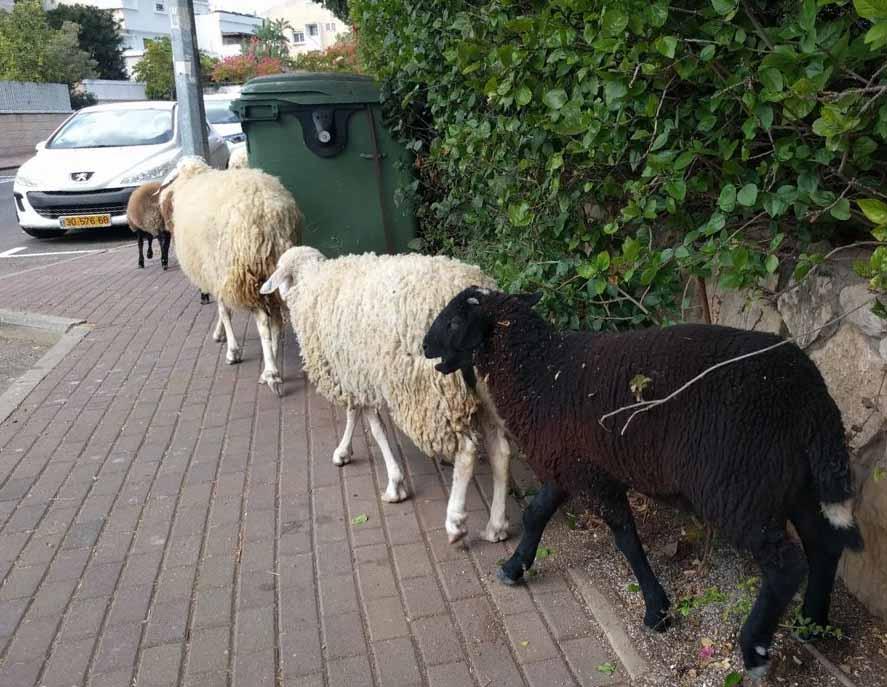 עדר כבשים בשכונת ורדיה (צילום: מאיה שפירר - אבני)