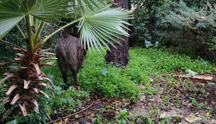 חזיר בגינה בנווה שאנן (צילום – איריס אלישיב)
