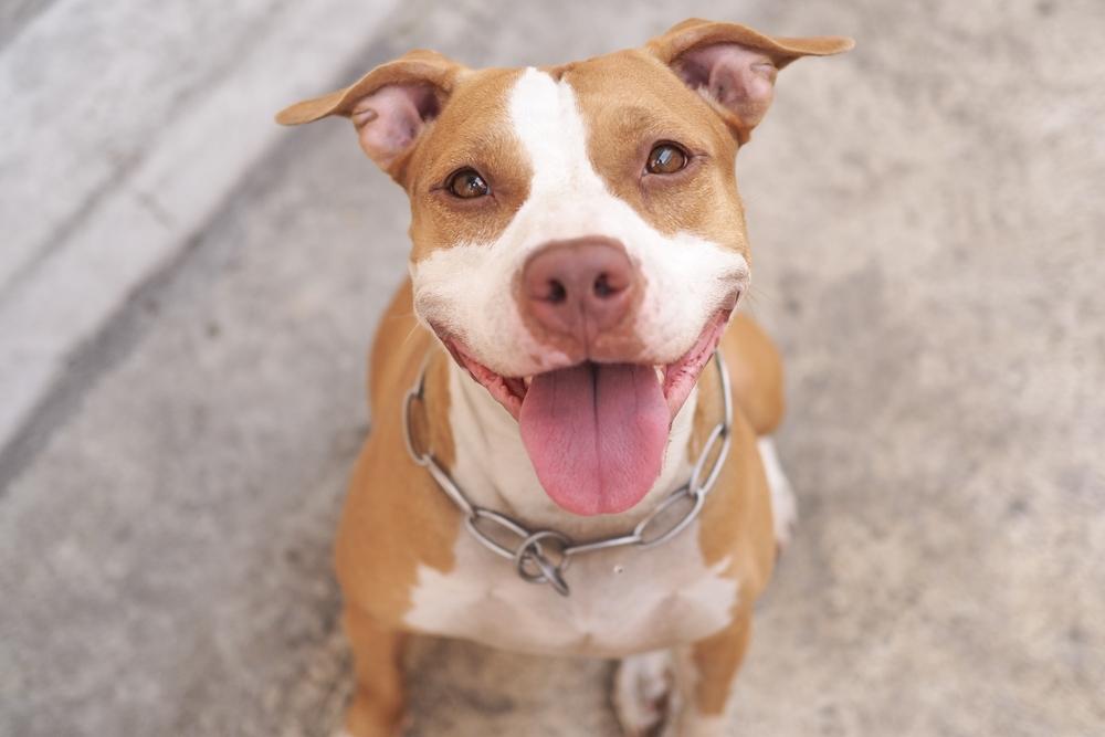 כלב פיטבול - אילוסטרציה (shutterstock)