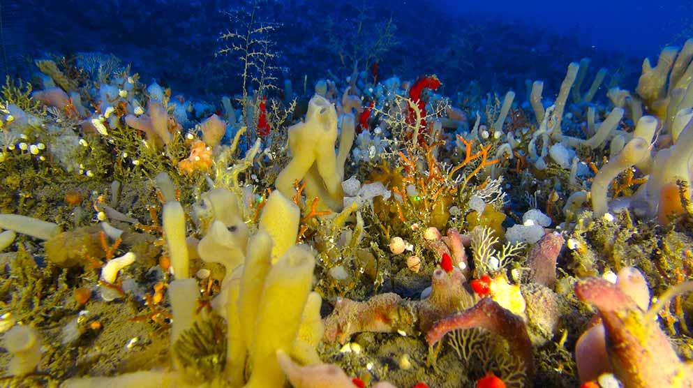 גני הספוגים שעל רכס הכרמל התת ימי.