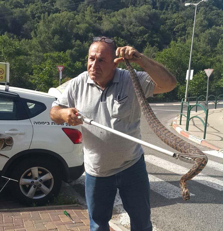 לכידת נחש צפע ענק לייד בית הספר עירוני ה בחיפה - שמואל בראונשטיין (ארכיון)