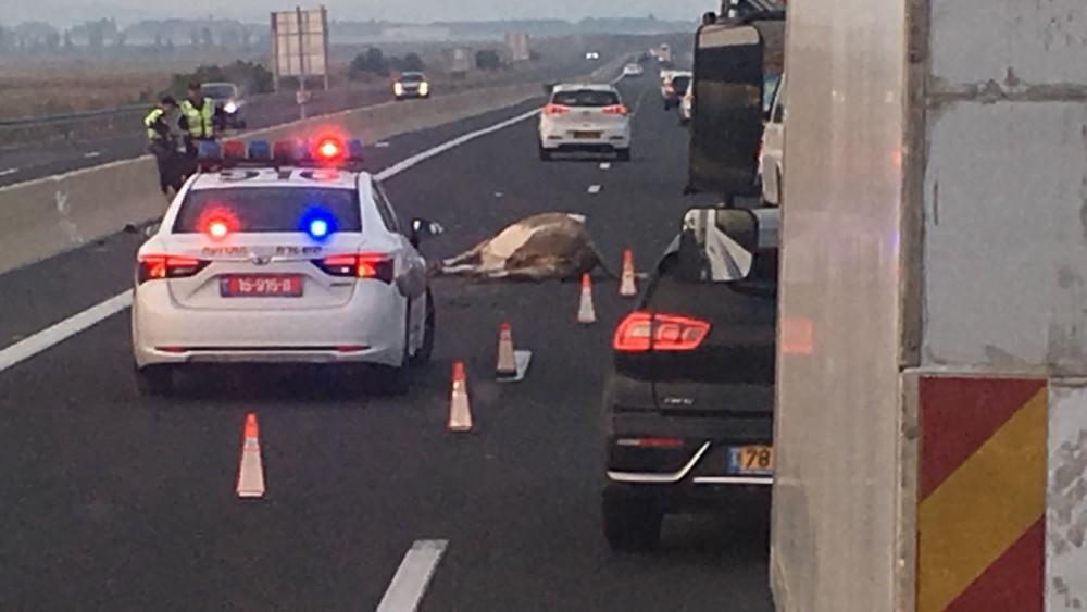 Image result for תאונת דרכים פרות