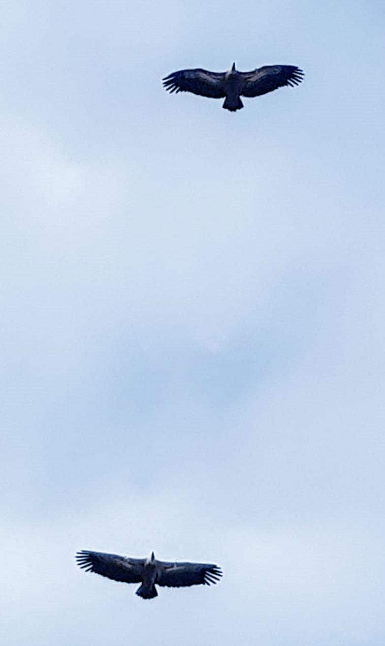 נשרים מעל חיפה - מדרום לדניה 23/11/2018 (צילום: אלעד קומיסר)