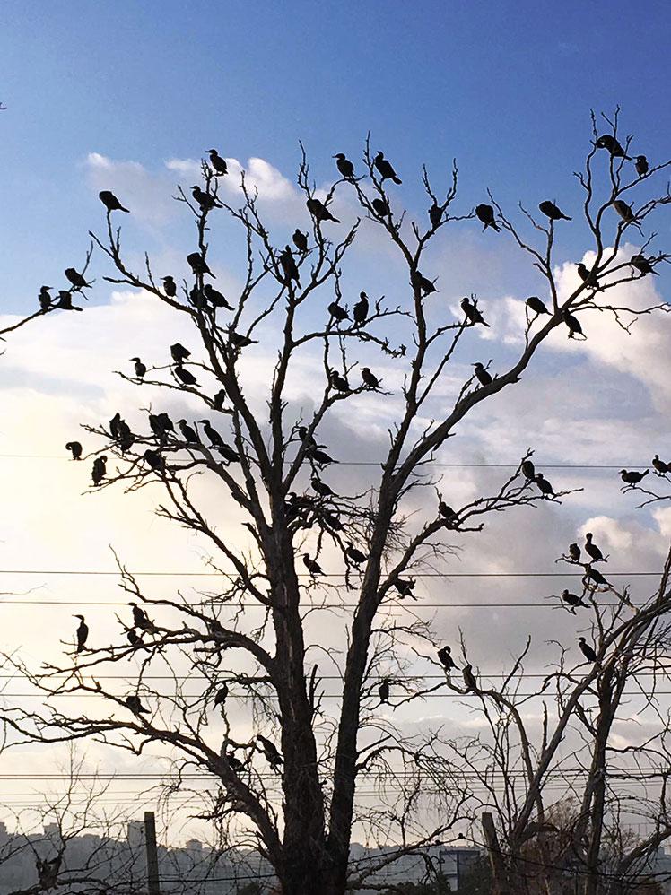 קורמורנים על גדות הקישון בסמוך לבתי הזיקוק (צילום: דליה נירנפלד)