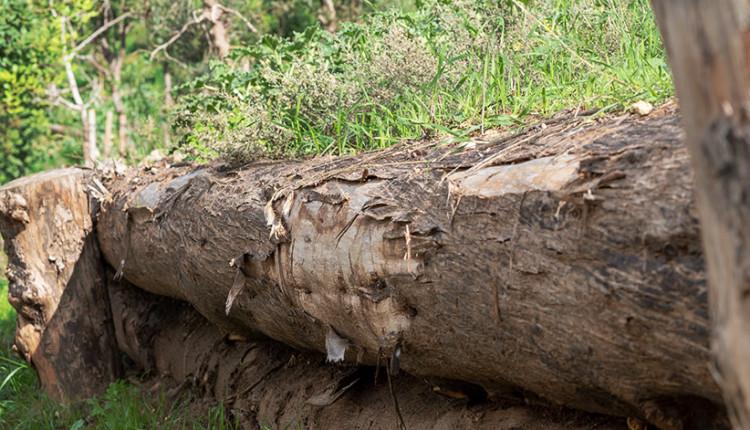 """גזעי עצי אורן שנשרפו משמשים כמעקה לעצירת סחף האדמה - רחוב זלמן שז""""ר (צילום: ירון כרמי)"""