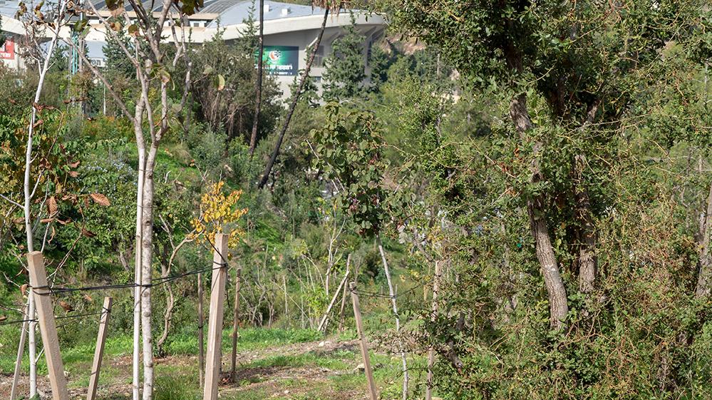 שיקום החורש בחיפה: שתילים של מינים אנדמיים בשכונת רוממה. ברקע - היכל רוממה (צילום: ירון כרמי)