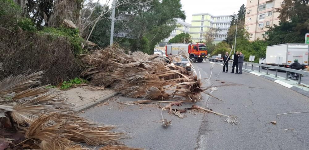 עץ קרס בכביש דורי (צילום: יעקב ישראל)