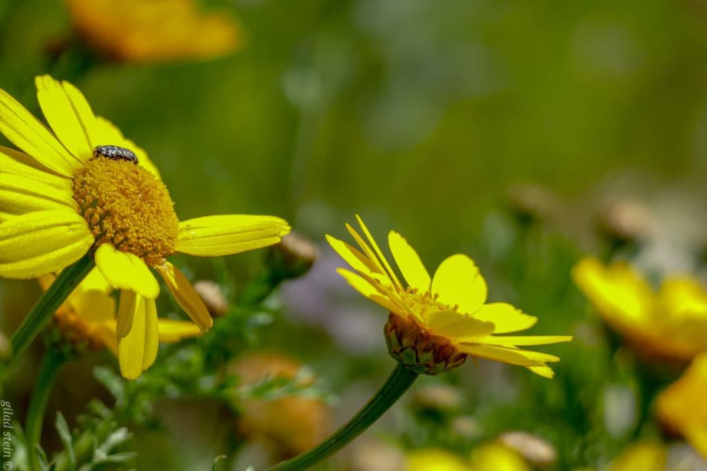 פרחי החרצית - טיול חורף בנחל שיח בחיפה - התמונות ומסלול הטיול (צילום: גלעד שטיין)
