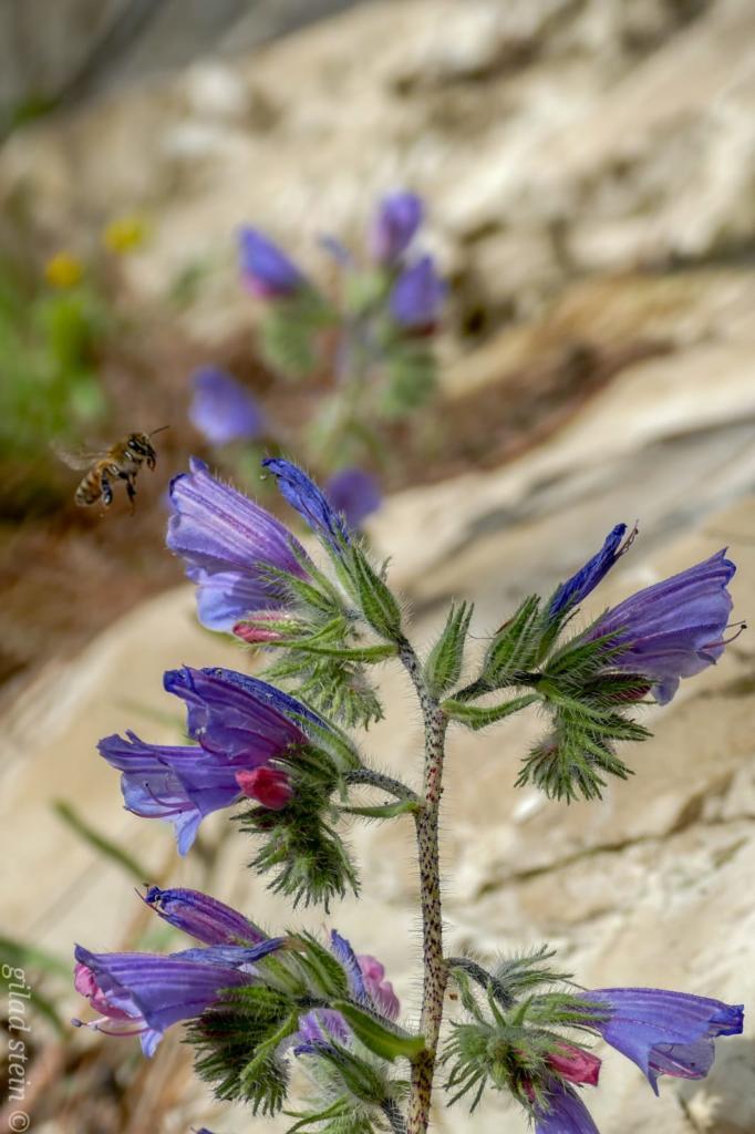 דבורה מרחפת מול פרח - טיול חורף בנחל שיח בחיפה - התמונות ומסלול הטיול (צילום: גלעד שטיין)