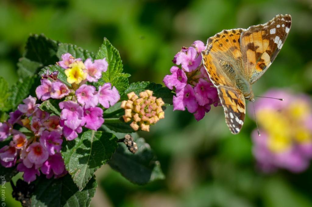 פרפר על פרח בנחל שיח - טיול חורף בנחל שיח בחיפה - התמונות ומסלול הטיול (צילום: גלעד שטיין)