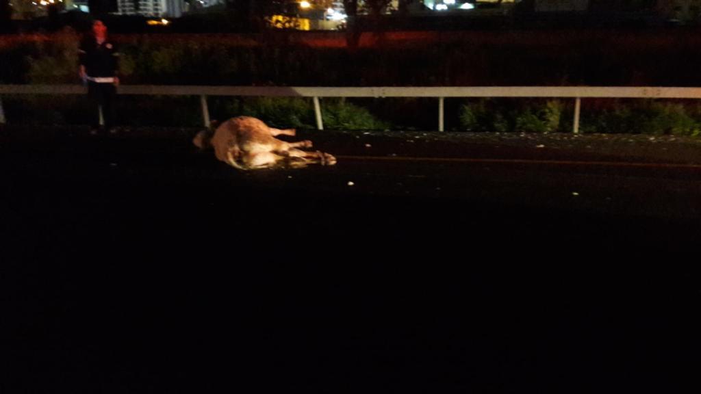 פרה מתה על כביש 77 צומת יגור צילום: איחוד הצלה