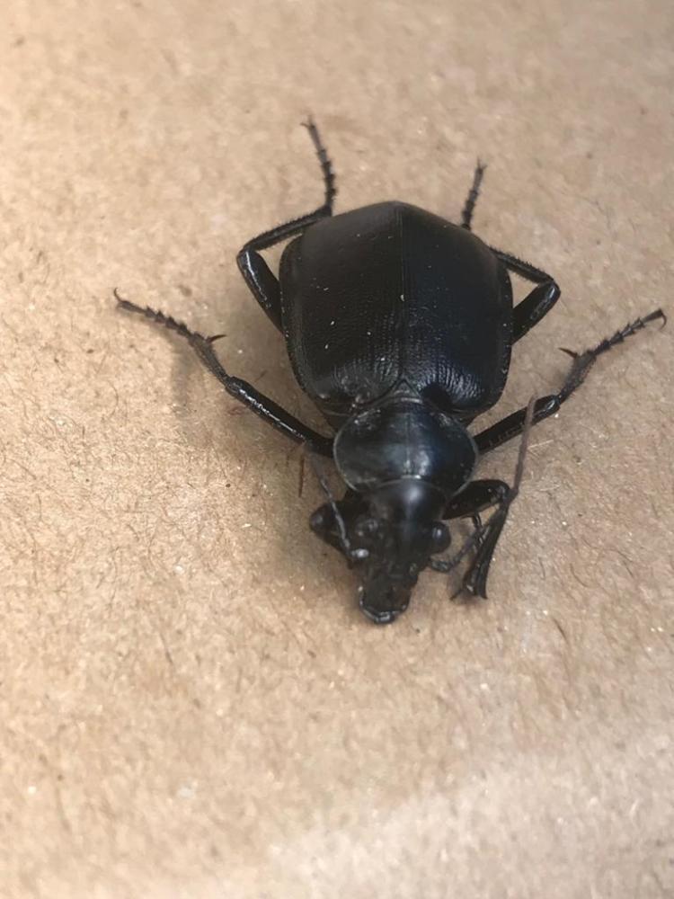 """חיפושית רצנית אוליביה, (צילום: ד""""ר אורי שלום המשרד להגנת הסביבה)"""