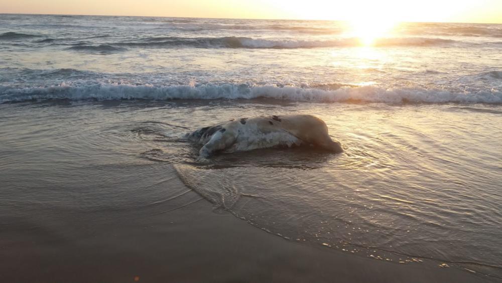 גופת עגל בחוף הסטודנטים, צילום: שקד ארד