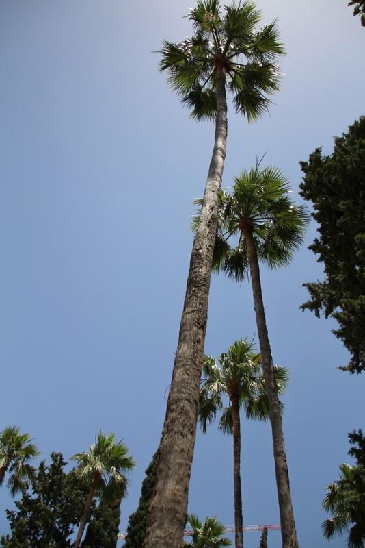 שדרה של דקלי וושינגטוניה בגן הטכניון (צילום: אורה גזית).