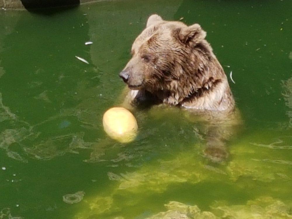 הדוב בני (צילום: גן החיות חיפה)