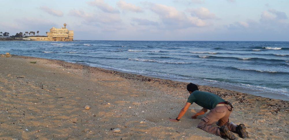 פקח רשות הטבע והגנים רותם שדה אוסף ביצים מקן של צבת ים ענקית, בראש הכרמל בחיפה, לצורך העברתן לחווה מגודרת (צילום: רותם שדה - רשות הטבע והגנים)