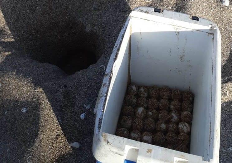 ביצים שנאספו מקן של צבת ים לצורך העברתן לחוות דגירה מגודרת (צילום: רותם שדה - פקח רשות הטבע והגנים)
