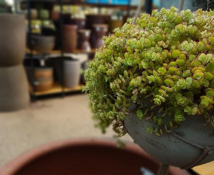 כל הצמחים, האדניות והכדים המוצר השני ב50% הנחה לחברי מועדון על הפריט הזול מביניהם