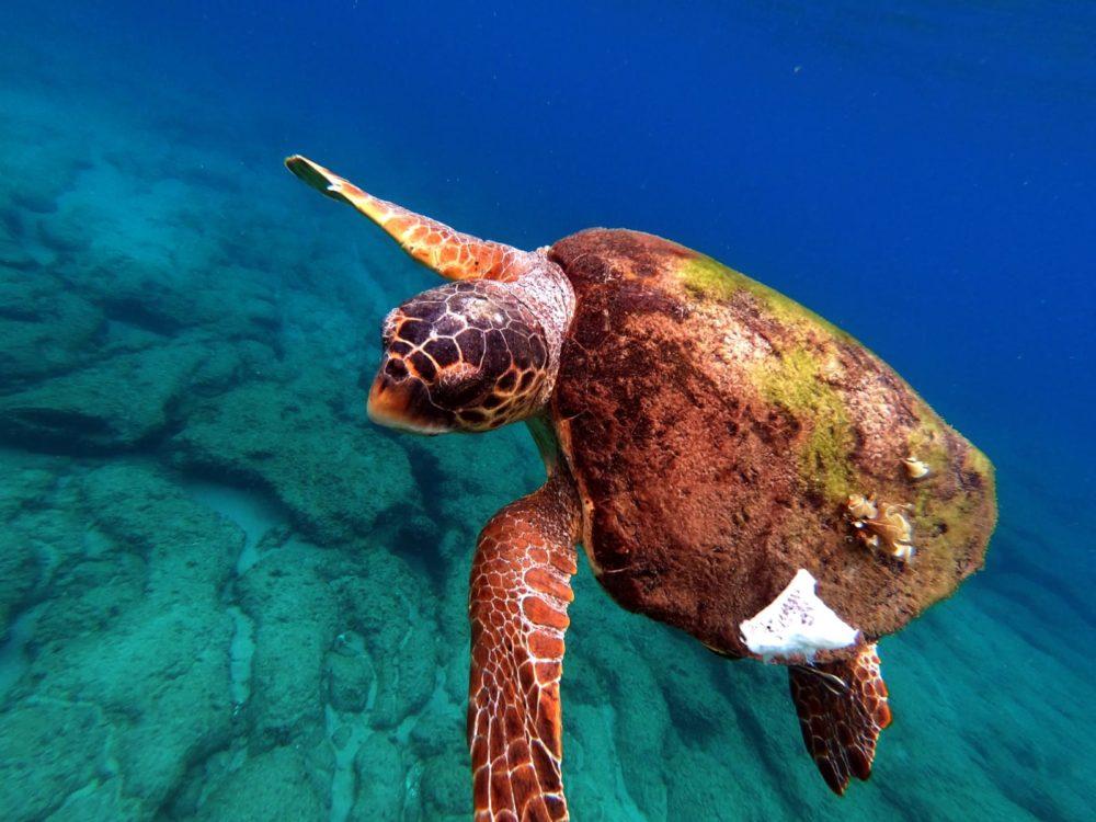הצבה רותם. על גבה צמחו אצות, בלוטי ים וצדפות מסוג צלחית (צילום: מוטי מנדלסון)