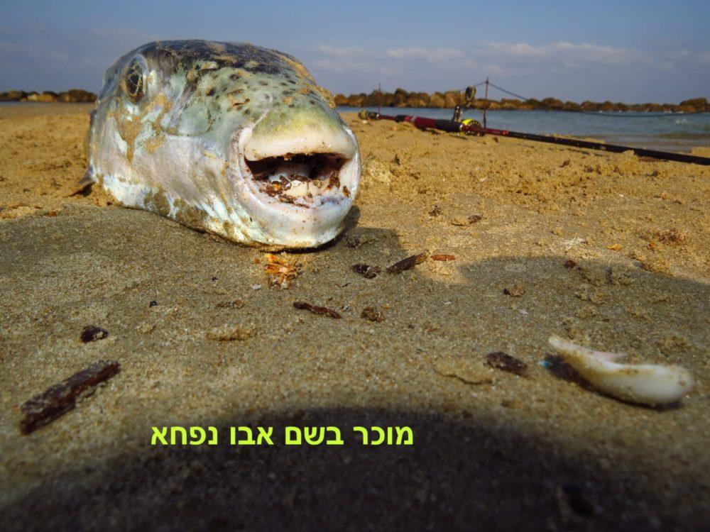 דג אבו נפחא (צילום: מוטי מנדלסון)