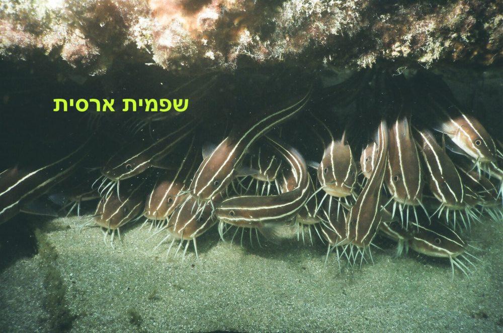 שפמית ארסית (צילום: מוטי מנדלסון)