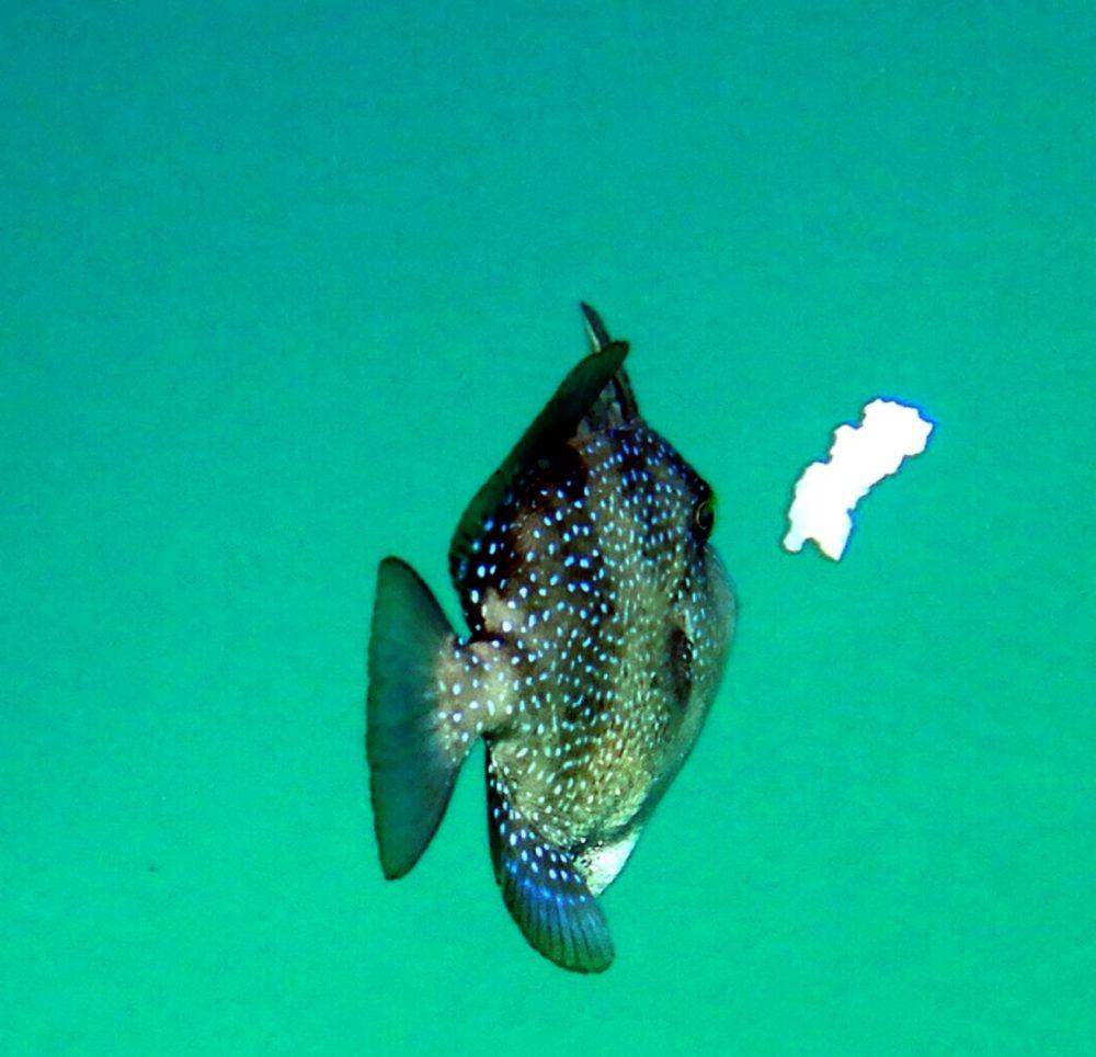 נצרן ים תיכון שועט לכיוון חתיכת פלסטיק (צילום: מוטי מנדלסון)