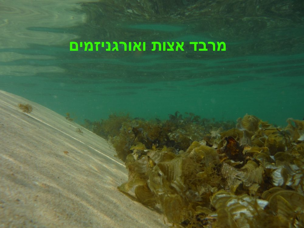 מרבד אצות ואורגניזמים (צילום: מוטי מנדלסון)