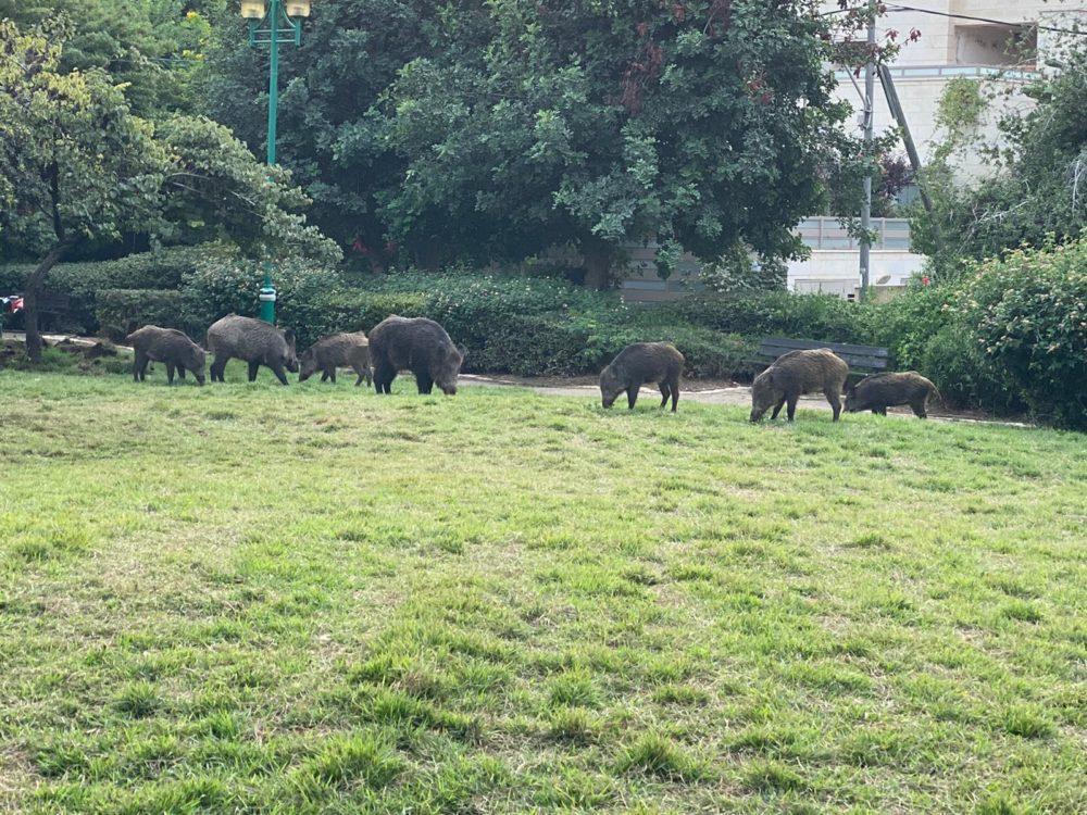 עדר חזירים פשט על גן שמואל בחיפה והבריח את התושבים • נזק כבד לדשא (צילום: חי פה)