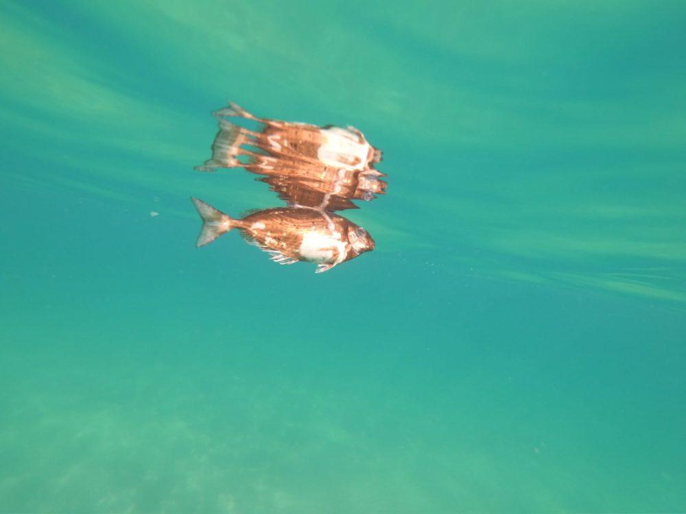 דג סיכן שבטנו תפוחה מהאצות הנרקבות (צילום: מוטי מנדלסון)