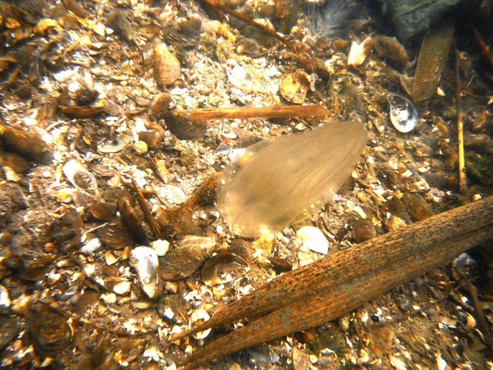 מסרקנית על קרקעית נחל הקישון. על קרקע הנחל ניתן לראות שברי צדפות (צילום: מוטי מנדלסון)
