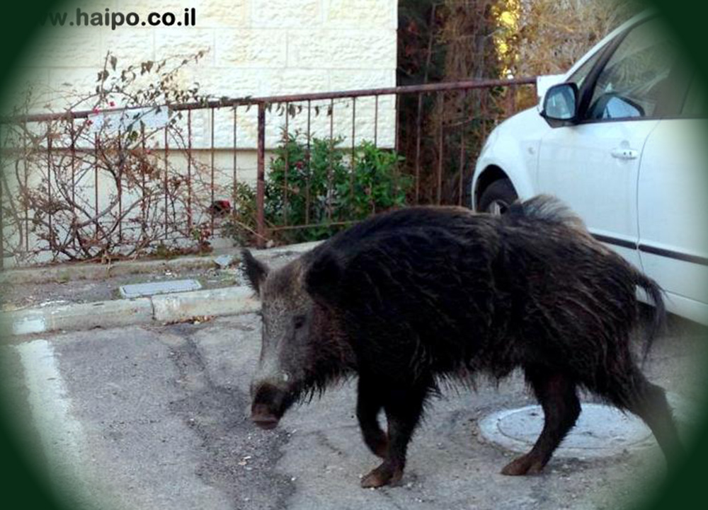 חזיר בר בחיפה (ארכיון)