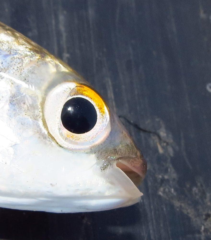 עייני הדג חייבות להיות בולטות במעט וצלולות ככוס מים זכים (צילום: מוטי מנדלסון)