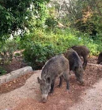 חזירי בר ברחוב קדימה כבאביר בחיפה צילום שמעון שימול