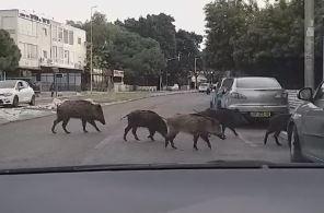 עדר חזירים בציר מוריה (צילום הדס שילה)