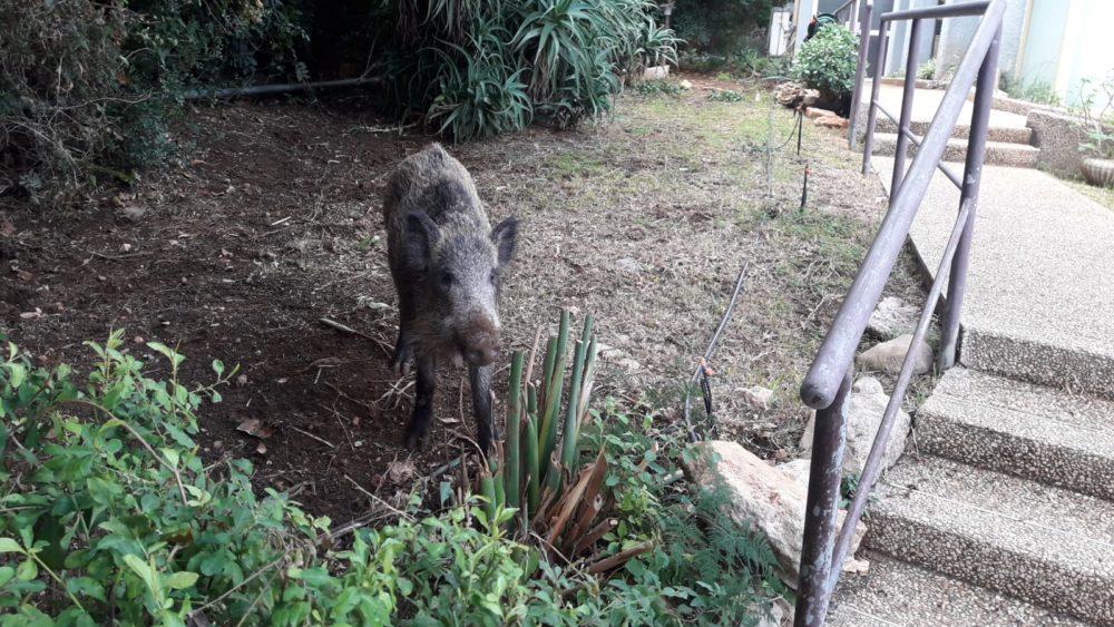 חזיר בר ליד בית ספר הרצל (צילום מעין)