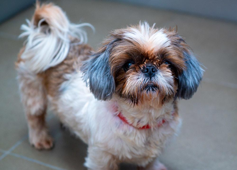 כלב שיצו (צילום: מתן כרמי)
