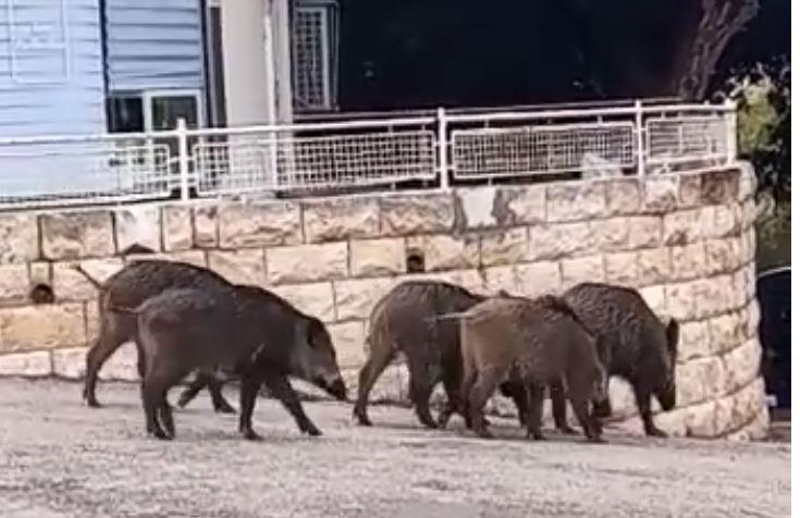 חזירי בר בחיפה (צילום: חי פה)