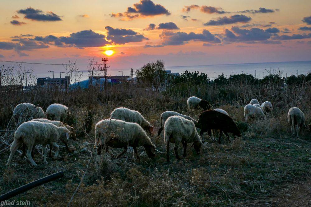 עדר כבשים רועה בסמוך לאכסניית הנוער הנטושה ומורדות הכרמל במערב חיפה (צילום: גלעד שטיין)