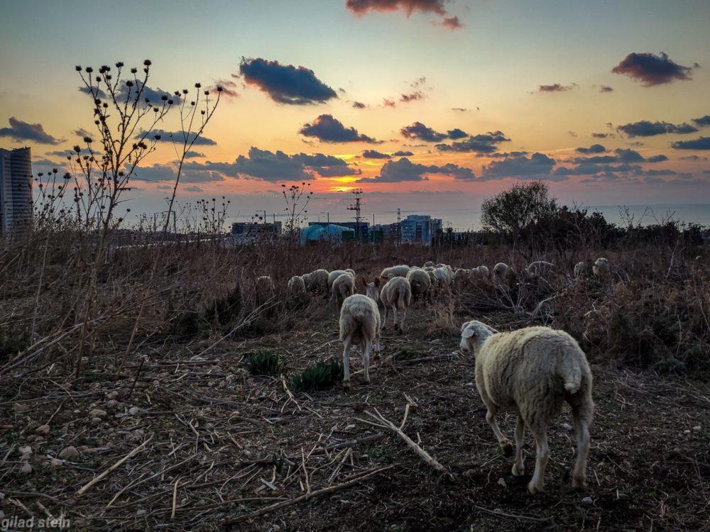 עדר כבשים רועה בסמוך לאכסניית הנוער במערב חיפה (צילום: גלעד שטיין)