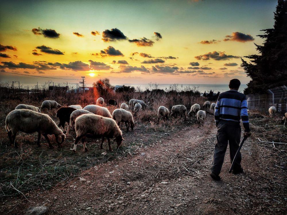עדר כבשים בסמוך לאכסניית הנוער במערב חיפה (צילום: גלעד שטיין)