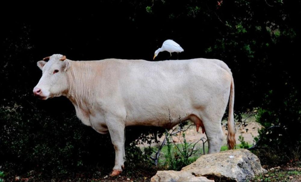 הרמוניה בנחל אורן - פרה ואנפת בקר (צילום: נביל נסראלדין)