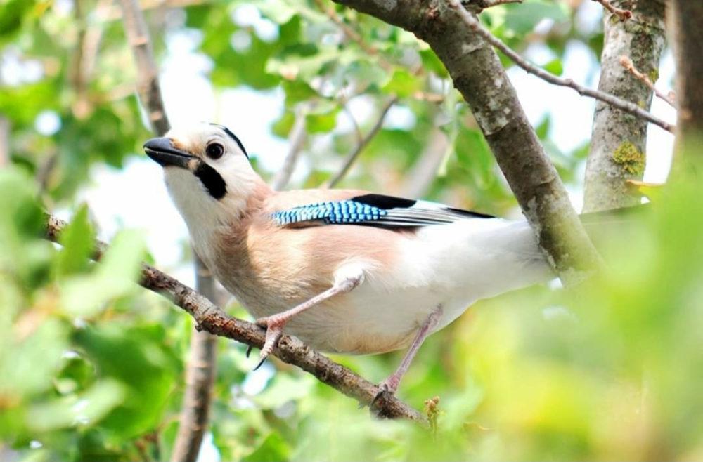 העורבני הצווחן על העץ שלי - ציפורים על הכרמל (צילום: נביל נסראלדין)