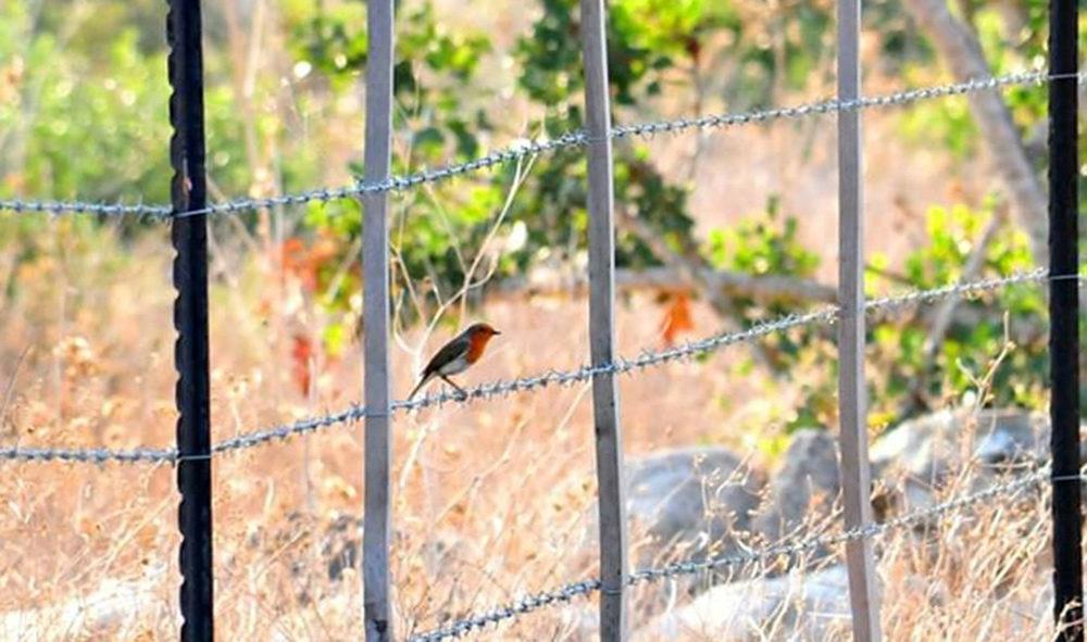 אדום החזה ליד קיבוץ ניר עציון • ציפורים על הכרמל (צילום: נביל נסראלדין)