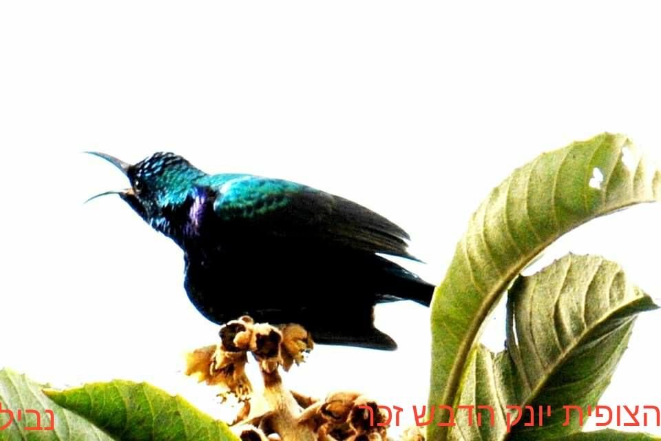צופית - יונק הדבש - זכר • ציפורים על הכרמל (צילום: נביל נסראלדין)