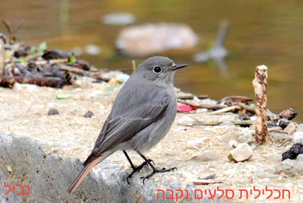 חכלילית הסלעים - נקבה • ציפורים על הכרמל (צילום: נביל נסראלדין)